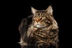 Maine Coon Cat Lying, Blicke auf die Seite lokalisiert auf Schwarzem Lizenzfreie Stockbilder