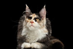 Maine Coon Cat Lying, Curious Looking up,  Black Stock Photography