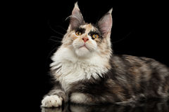 Maine Coon Cat Lying and Curious Looking up,  Black Stock Photos