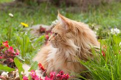 Maine Coon cat lying on flowerbed Royalty Free Stock Photo
