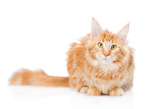 Maine coon cat lying in front view. Isolated on white background Stock Photography