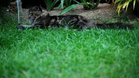 Maine Coon cat lying on grass and plays Stock Photography
