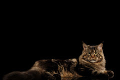 Maine Coon Cat Lying, Looking in Camera, Isolated Black Background Royalty Free Stock Photography