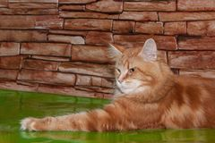 Maine coon cat is lying on a mirror flooring. Pet animals Royalty Free Stock Photo