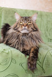 Maine Coon Royalty Free Stock Photos