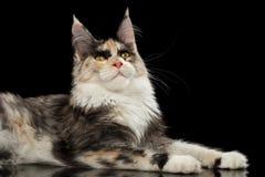 Maine Coon Cat Lying und neugieriges oben schauen, lokalisiertes Schwarzes Lizenzfreie Stockfotos