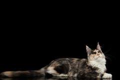 Maine Coon Cat Lying und neugieriges oben schauen, lokalisiertes Schwarzes Stockfotografie
