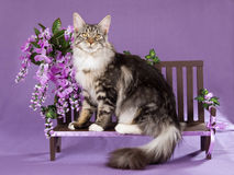 Maine Coon cat on miniature bench. Silver tabby Maine Coon cat sitting on miniature wooden bench decorated with purple wisteria flowers Stock Image