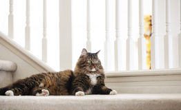 Maine Coon Cat Mix Image stock