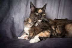 Free Maine Coon Cat Mother And Kitten Side By Side Royalty Free Stock Image - 205120166