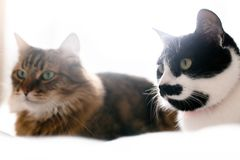 Maine coon and cat with moustache resting with funny emotions on comfortable bed. Friends pets. Space for text. Two cute cats. Sitting and relaxing on white bed royalty free stock image