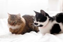Maine coon and cat with moustache resting with funny emotions on comfortable bed. Friends pets. Space for text. Two cute cats. Sitting and relaxing on white bed royalty free stock photo