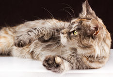 Maine Coon Cat On Black Brown Background
