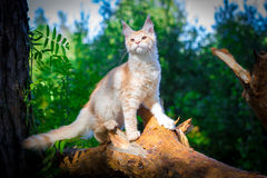 Maine coon cat outside with a curious look on his Royalty Free Stock Photography