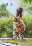 Maine Coon cat in park Royalty Free Stock Images