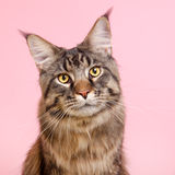 Maine coon cat on pastel pink Royalty Free Stock Images