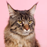 Maine coon cat on pastel pink Stock Images