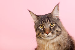 Maine coon cat on pastel pink Stock Image