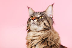 Maine coon cat on pastel pink Royalty Free Stock Photo