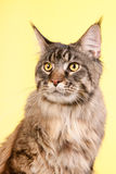 Maine coon cat on pastel yellow Stock Image