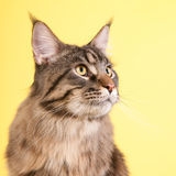 Maine coon cat on pastel yellow Stock Photos