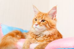 Maine Coon Cat on a pillow. Red Spotted Tabby stock photos