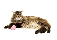 Maine coon cat with pink wool ball Royalty Free Stock Photography