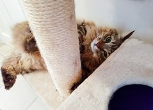 Maine coon cat. Playful Maine coon cat laying on back while playing with scratch post, looking at camera Royalty Free Stock Photography