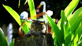 Maine coon cat playing on a stump Royalty Free Stock Images