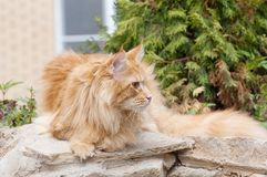 Maine Coon cat portrait Stock Image