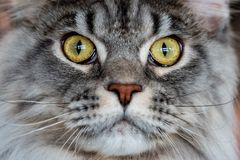 Maine Coon cat portrait looking at you. Close up Royalty Free Stock Photography