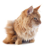 Maine coon cat Stock Images
