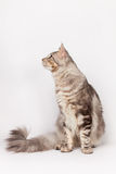 Maine Coon Cat profile Stock Images