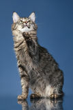 Maine coon cat pulls paw up Royalty Free Stock Images
