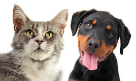 Maine coon cat and puppy rottweiler Stock Photo