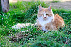 Maine coon cat Stock Image