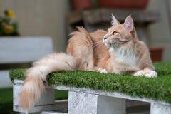 Maine Coon Cat stockbild