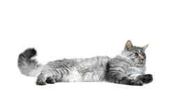 Maine coon cat relaxing. Grey maine coon cat relaxing Royalty Free Stock Photography