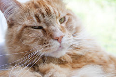 Maine-coon cat relaxing Royalty Free Stock Photos