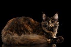 Maine Coon Cat Rest und lokalisiertes Schwarzes in camera schauen Lizenzfreie Stockbilder