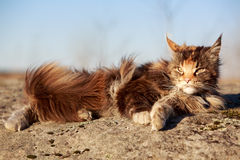Maine Coon. Cat on rock Stock Photography