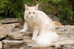 Maine Coon cat on rocks Royalty Free Stock Images
