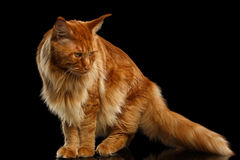 Maine Coon Cat rouge avec la queue velue d'isolement sur le noir Images stock