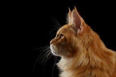 Maine Coon Cat rouge en gros plan dans la vue de profil, noir d'isolement Photos stock