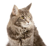 Maine coon cat`s portrait Stock Images