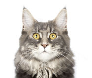 Maine coon cat`s portrait Royalty Free Stock Photos