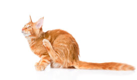 Maine coon cat scratching. on white background stock photography