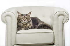 Maine Coon cat seating on white sofa. A beautiful long hair Maine Coon cat seating on white couch and on white background, whit gray tiger hair, looking to the Royalty Free Stock Photos