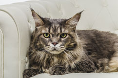 Maine Coon cat seating on white sofa closeup. A beautiful long hair Maine Coon cat seating on white couch and on white background, whit gray tiger hair, looking Stock Images