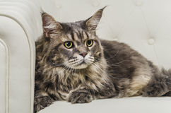 Maine Coon cat seating on white sofa closeup look right. A beautiful long hair Maine Coon cat seating on white couch and on white background, whit gray tiger Royalty Free Stock Images